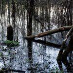 Powalone drzewo przez bobry. Na drzewie widać ślady nadgryzienia