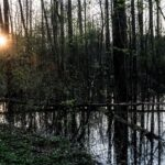 Las rosnący na podmokłym terenie. Zza drzew przebija sie słońce