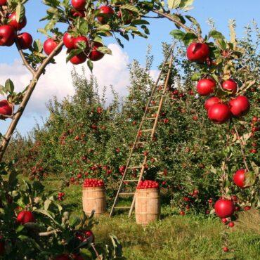Zielone drzewa z czerownymi jabłkami. W tele drawbina i dwie beczki wypełnione czerownymi jabłkami